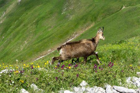 Tatra Chamois (Rupicapra rupicapra tatrica) in the natural environment. Tatry. Banque d'images