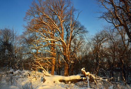 The sunny oaks in Caucasus of winter morning photo