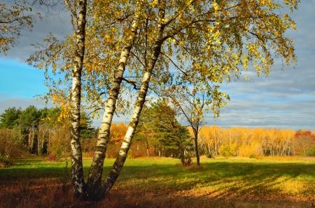 Die Birke im Naturpark des Herbstes