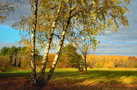 The birch in nature park of fall