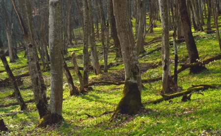 The Caucasus forest in spring of morning photo
