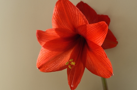 This is red amaryllis in warm  photo