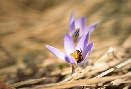 This is crocus and bee in Caucasus nature in spring photo