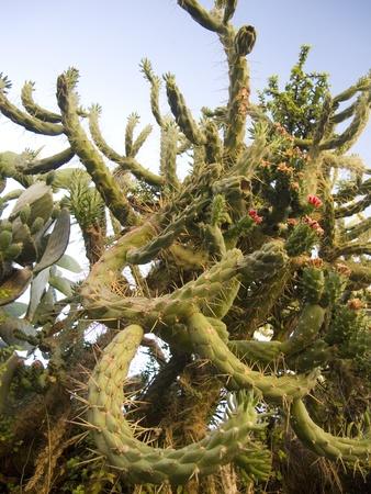 twining: Twining Cactus Fig Plant