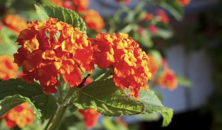 noxious: Detail of bright and colorful Lantana Flower