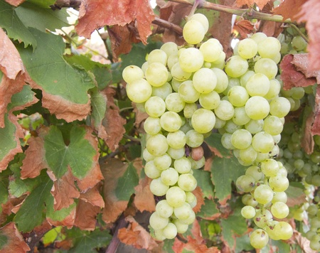 sauternes: White grape clusters hanging on a branch Stock Photo