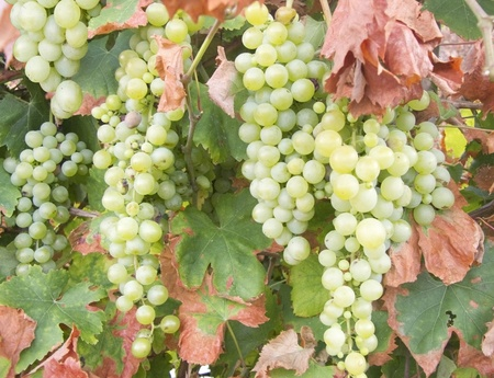 White grape clusters hanging on a branch Stock Photo