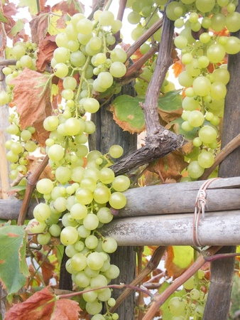fruitful: White grape clusters hanging on a branch Stock Photo