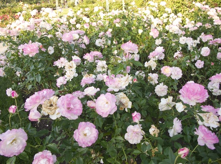 Bed of White and Pink Roses in a Garden Stock Photo