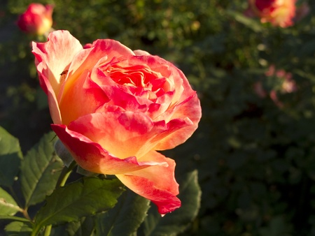 back lighting: Detail of a red orange tea rose with back lighting Stock Photo