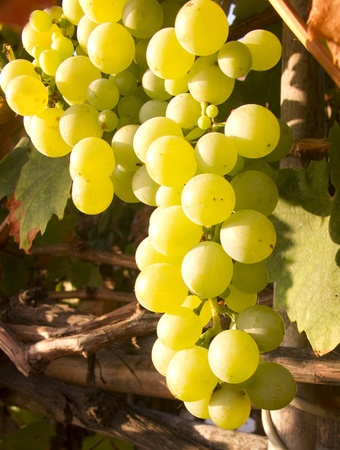 Green Grape Clusters hanging from the vine - leafy background photo