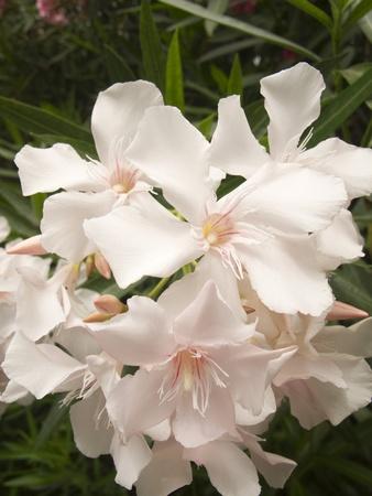 Detail of White Oleander Flowers in full bloom