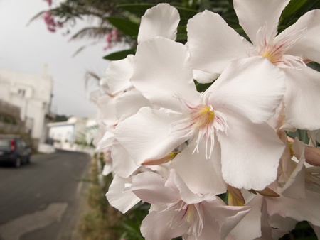 Detail of White Oleander Flowers in full bloom Stock Photo - 11688633