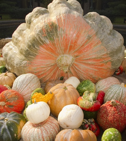Giant Textured Pumpkin with colorful gourds surrounding  Stock Photo