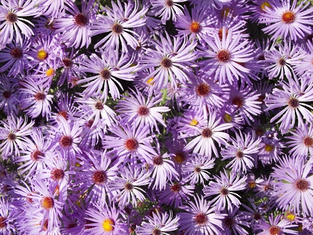 Close up of a bed of aster flowers in vibrant lavender and purple