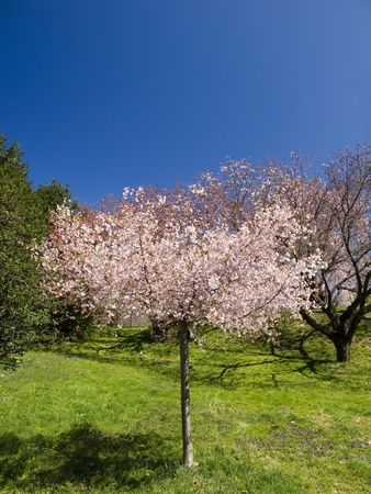 Lone Cherry Tree in Orchard and Blue Sky Background Stock Photo
