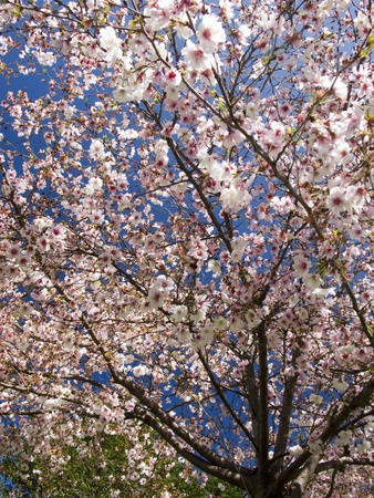Cherry Tree Blossoms  branches in random pattern