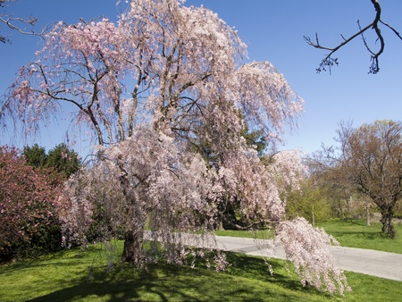 Single Cherry Tree Blooming in Orchard photo
