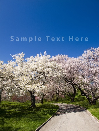 Japanese Cherry Blossom Orchard in Full Bloom  Sample Text Copy Space  Stock Photo