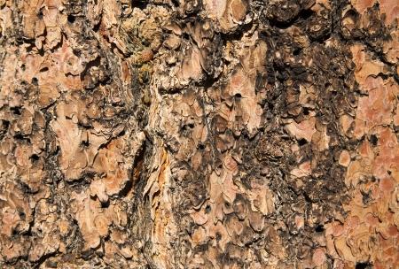 ponderosa pine: Detail of Ponderosa Pine Bark - Textured Background