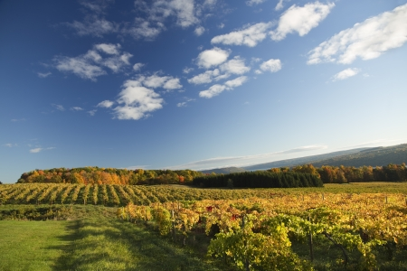landscape of vineyard in autumn, fall foliage in background photo