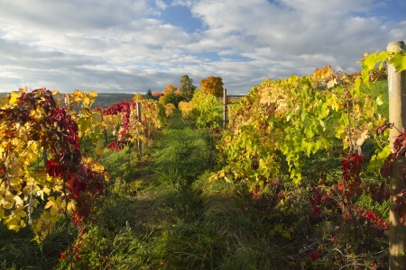 landscape of vineyard in autumn, fall foliage in background