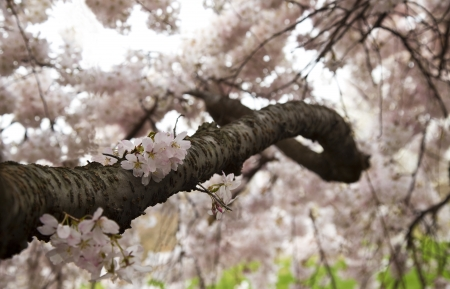 Detail of Japanese Cherry Blossom Branch  Shallow Depth of Field  Stock Photo