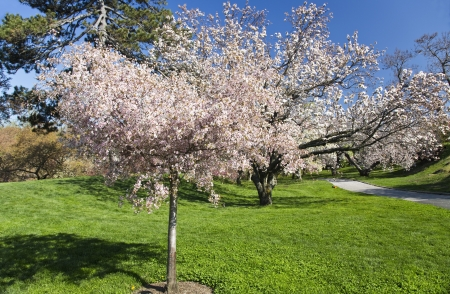 Single Small Cherry Tree Blooming in Orchard photo