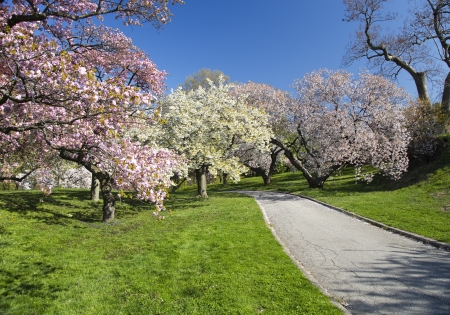 Japanese Cherry Blossom Orchard in Full Bloom