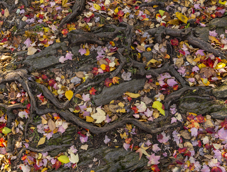 Wonderful pattern of tangled tree roots and fallen autumn leaves. Background and wallpaper design