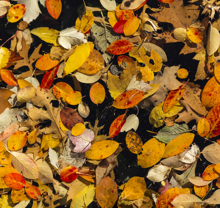 Random pattern of colorful autumn leaves floating in a pool of water. Black background Stock Photo