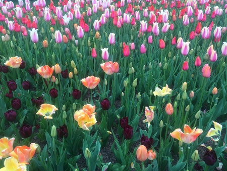 Field of multicolor tulips Stock Photo
