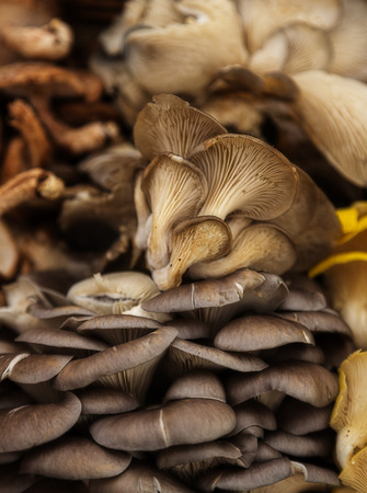 Assortment of fresh, harvested oyster mushrooms Stock Photo