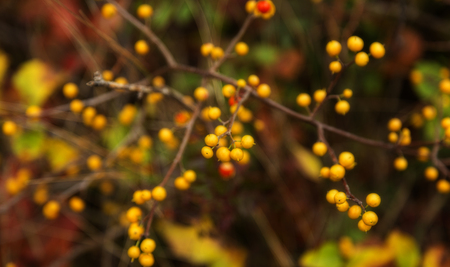 Random pattern of yellow sea buckthorn berries