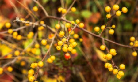 Golden sea buckthorn berries in random pattern Reklamní fotografie