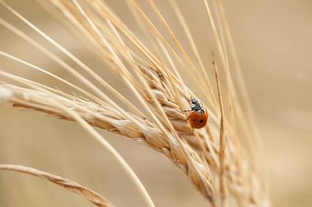 Ladybug on the ear wheat