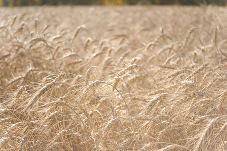Golden ears of wheat on the field Imagens