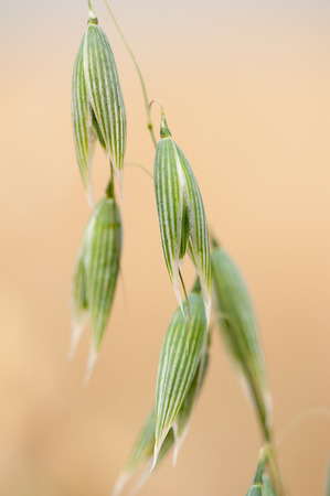 green oats on the field