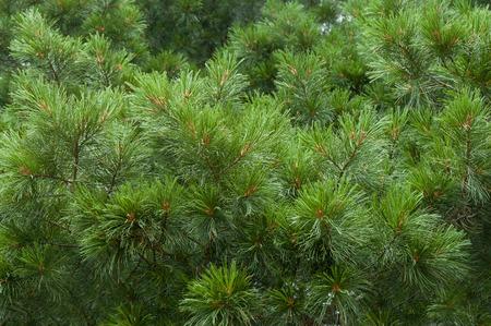 branch of the trees pine, cedar