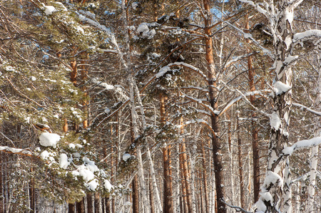 winter forest. branch of the trees pine, cedar, birch