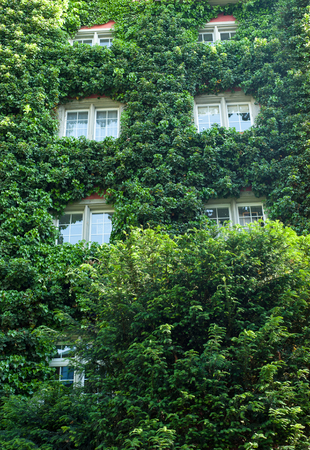 Wall traditional European house covered green leafage Imagens