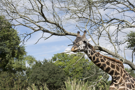 Giraffe on safari wild drive - close up