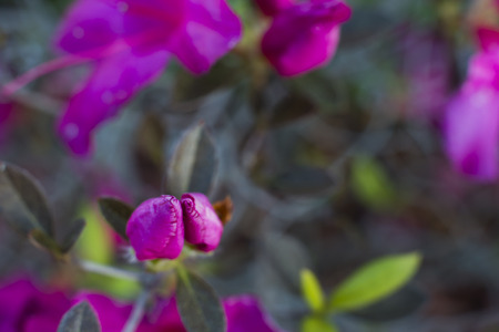 Couple of Pink rose buds in the garden in beautiful natural shallow background. twine flowers. space for copy text 免版税图像
