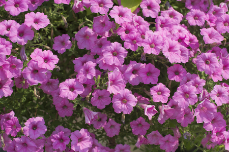 Natural pink flowers texture in spring season