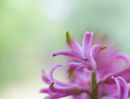 Pink flower close-up. beautiful natural shallow background. space for text 免版税图像