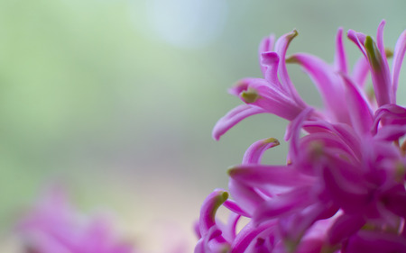 Pink hyacinth flower macro with beautiful shallow background with space for greeting card text