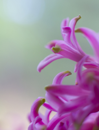 Close-up Pink hyacinth flower with green shallow background 免版税图像