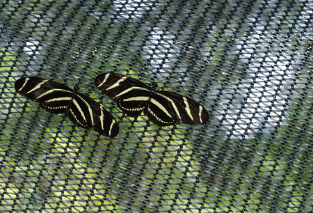 Zebra Longwing - Pair of yellow and black patterning butterflies found in southern Florida 免版税图像