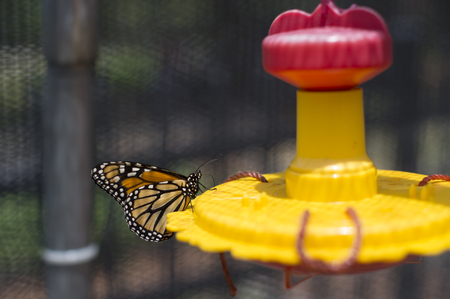 Monarch Butterfly sipping nectar from a feeder 免版税图像