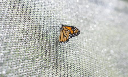 Monarch Butterfly on beautiful white shallow background